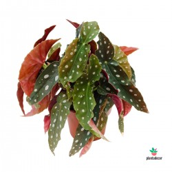 comprar Begonia Maculata Wightii