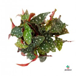 Begonia Maculata grande