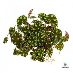 """Begonia Bowerae """"Tiger Paws"""""""
