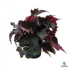 Begonia rex Royal Velour