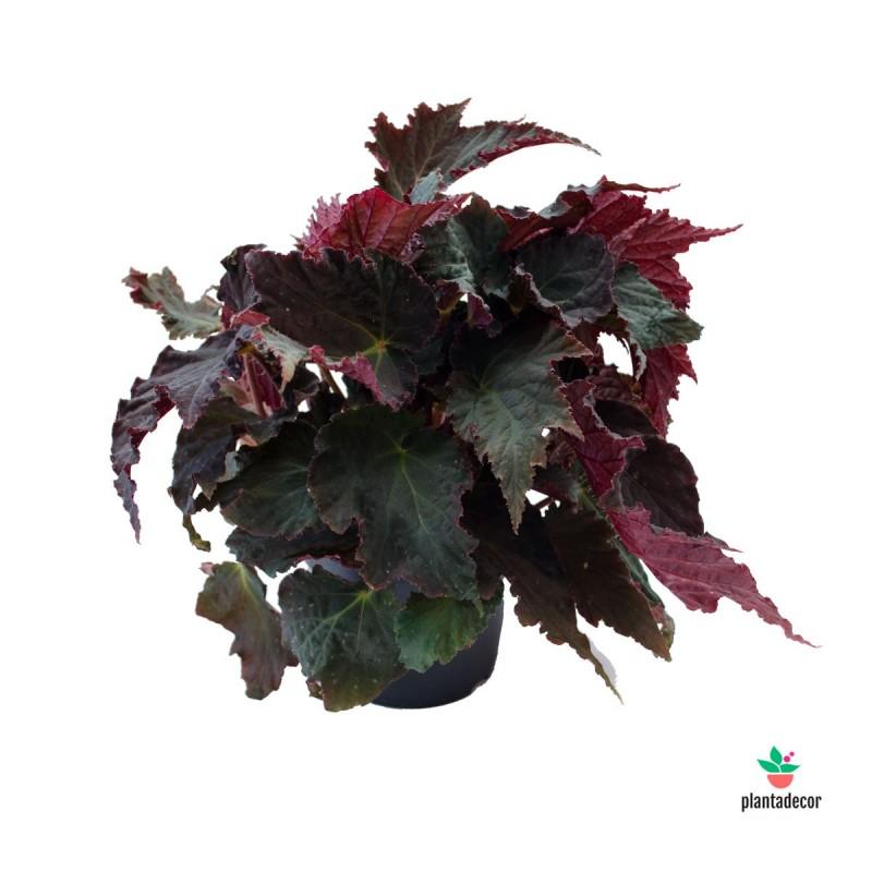 Begonia rex Royal Velour