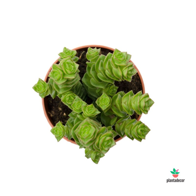 Crassula Green Pagoda