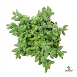Delosperma Echinatum PLANTEDECOR
