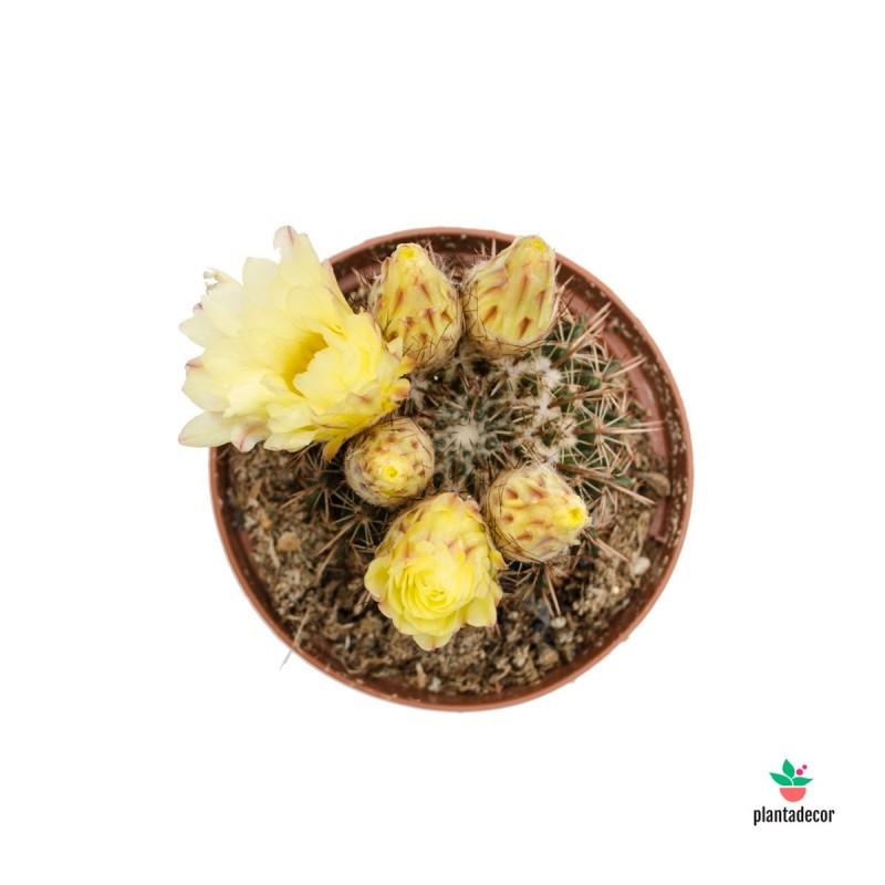 Notocactus mamulosa