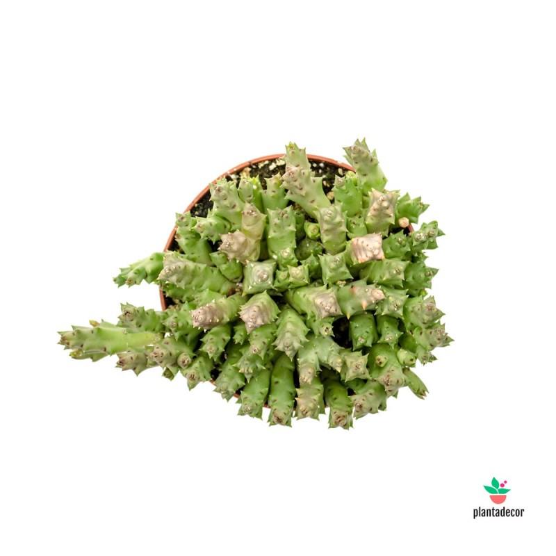 Suculenta Senecio Kleinia Stapeliiformis / Stapelia