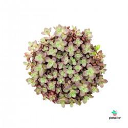 Sedum cyaneum 'Rosenteppich'
