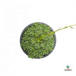 Saxifraga Paniculata Preciosa