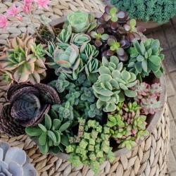Colección de mini plantas suculentas