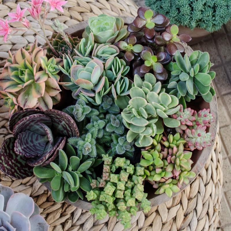 Colección de plantas suculentas en maceta
