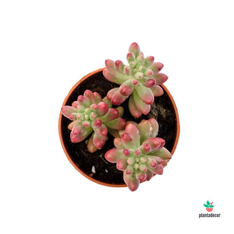 """Sedum Rubrotinctum Aurora """"Mini"""""""