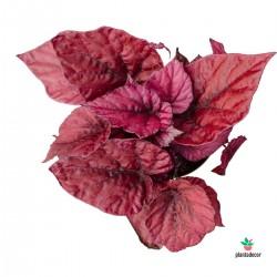 Begonia Beleaf 'Inca Flame'