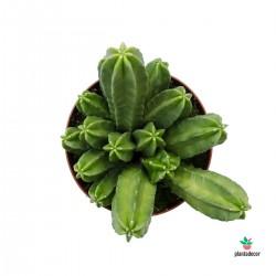 cactus Echinocereus viereckii moricalli