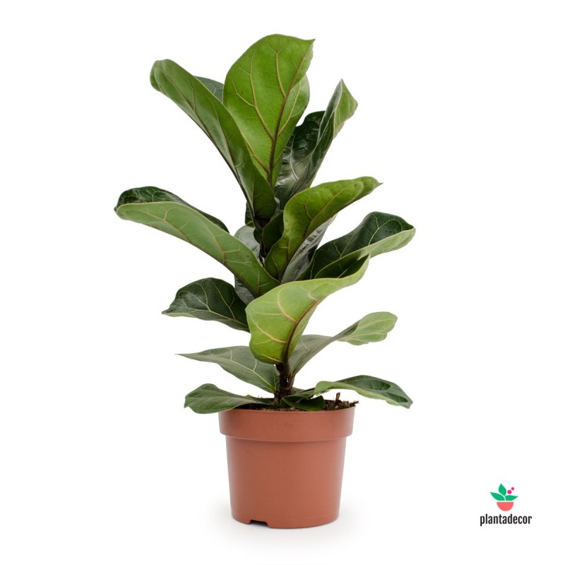 Ficus Lyrata comprar