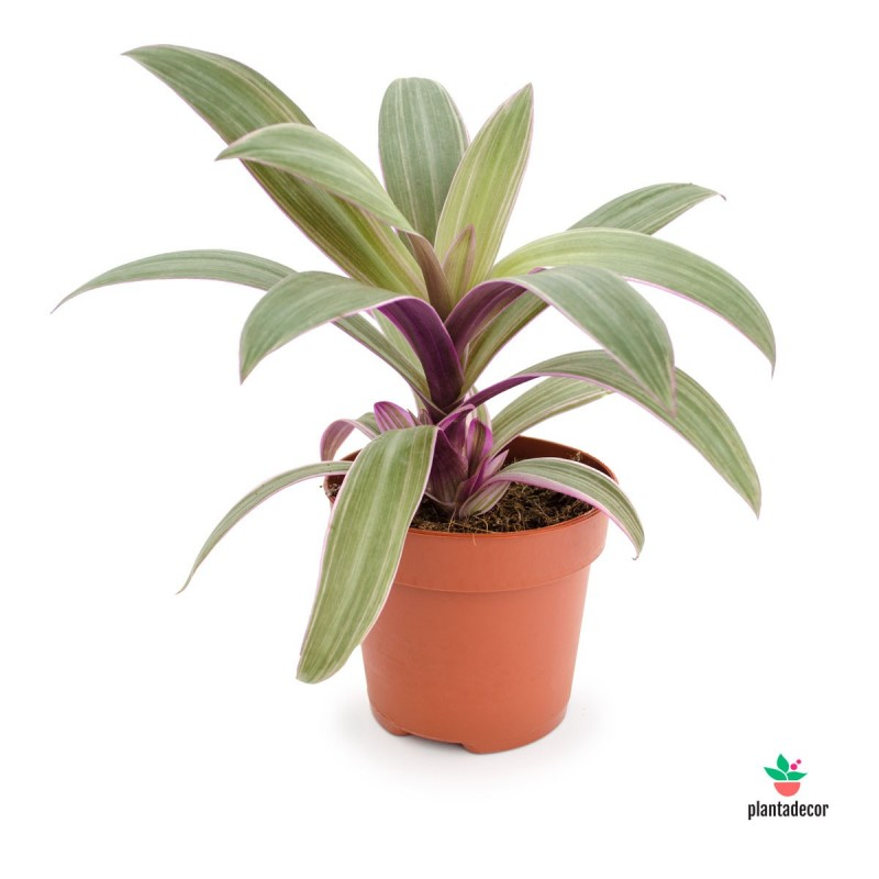 "Tradescantia Spathacea Sitara ""Purple Flame"""