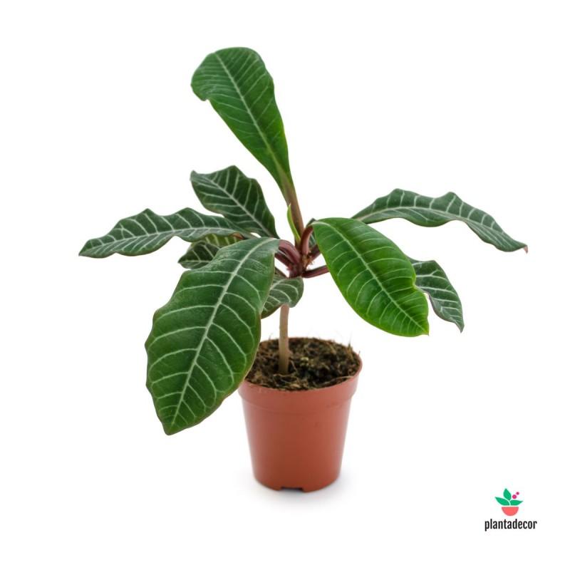 Euphorbia Leuconera
