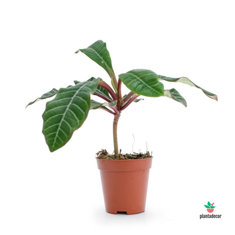 Euphorbia Leuconera Mini