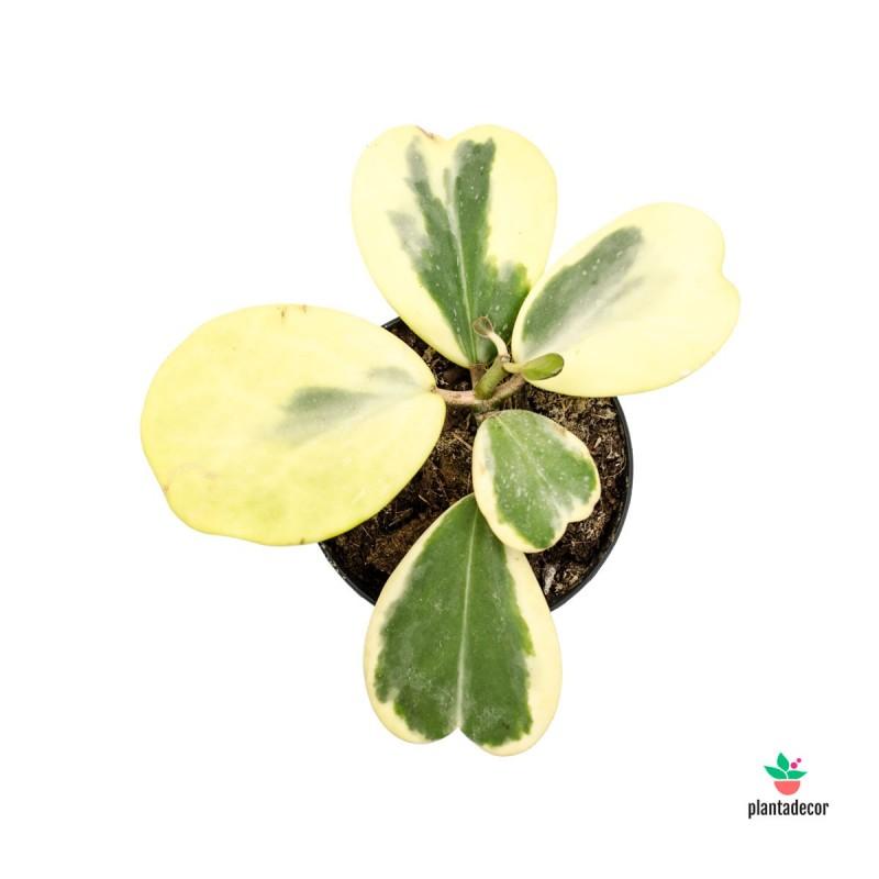 Hoya Kerrii Planta Variegated