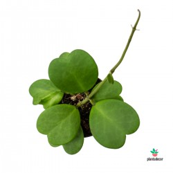 Hoya Kerrii Planta