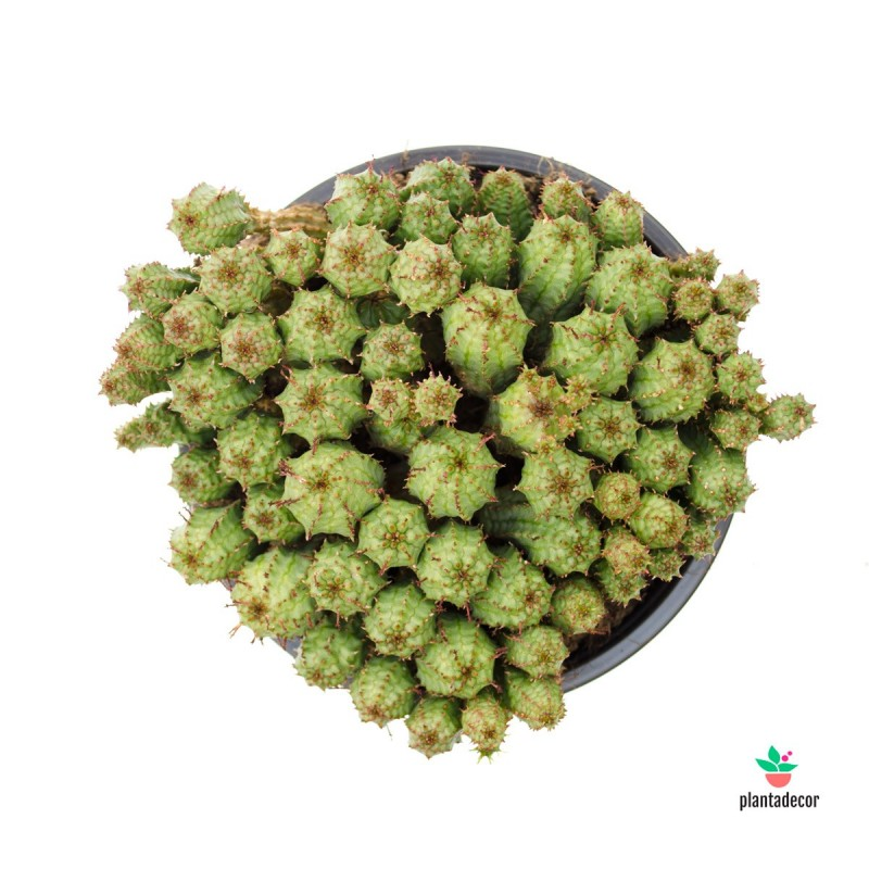 Euphorbia Mammillaris comprar