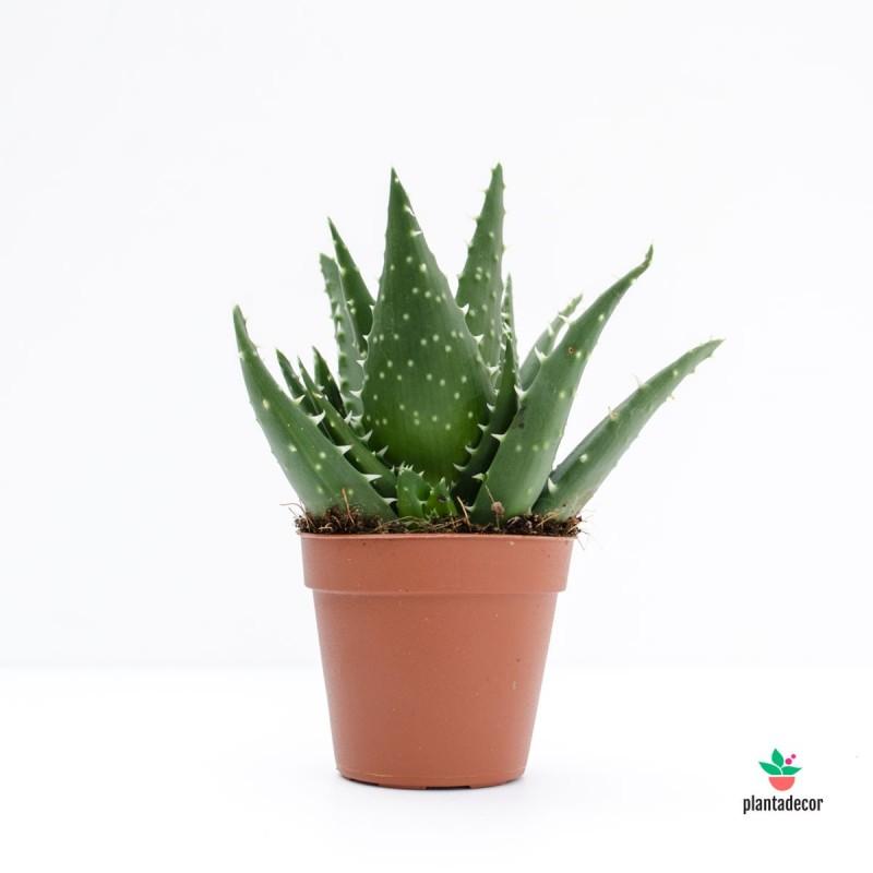 Aloe melacantha Jaws