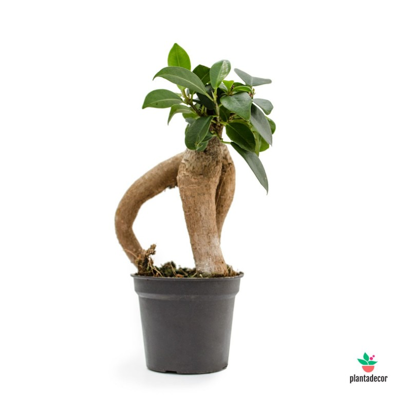 Ficus Gingseng mini
