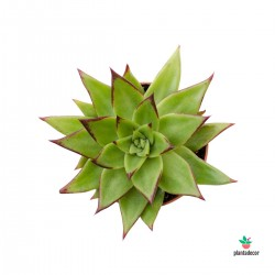 "Echeveria Agavoides ""Red Edge"""