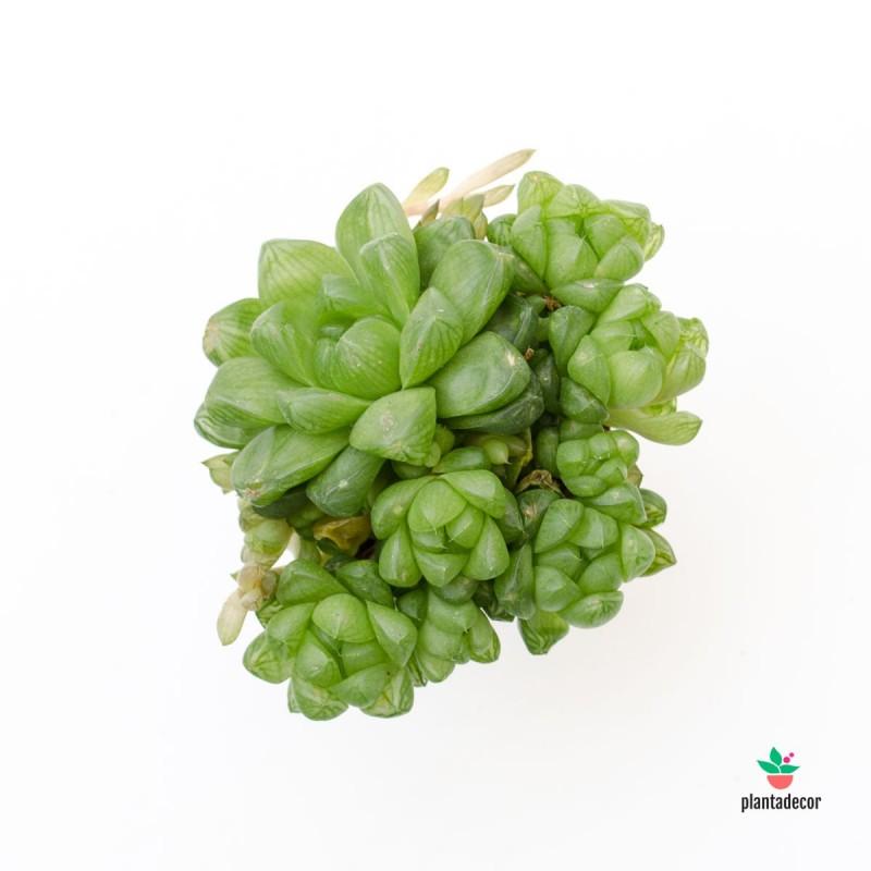 Haworthia Obtusa mini