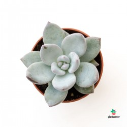 Echeveria Ice Crystal mini