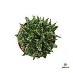 Gasteria x Aloe Zimflora