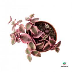 crassula Marginalis mini