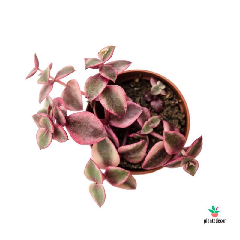 "Crassula Marginalis ""Rubra Isabelle"" Mini"
