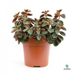 Peperomia Red Log verticilata red