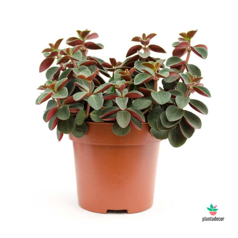 "Peperomia Red Log ""Verticilata Red"""