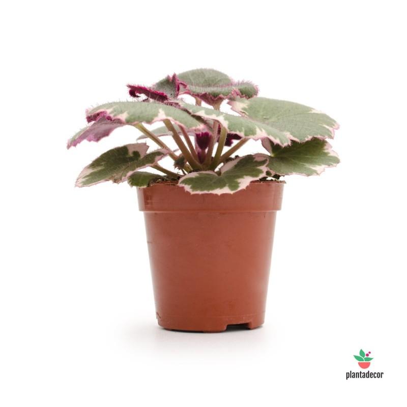 Saxifraga Stolonifera tricolor mini