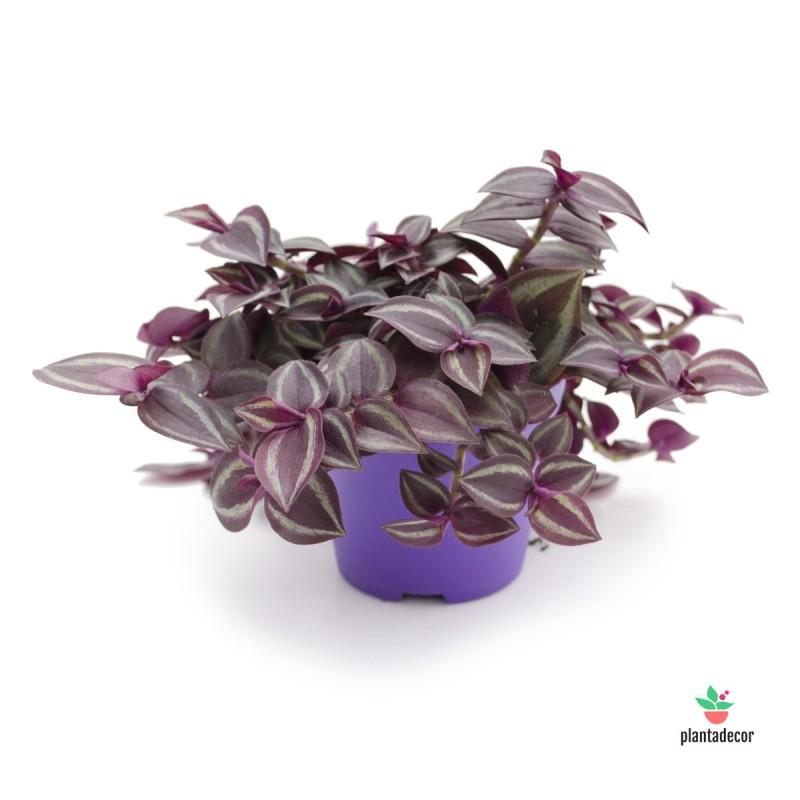 Tradescantia Zebrina  purple passion