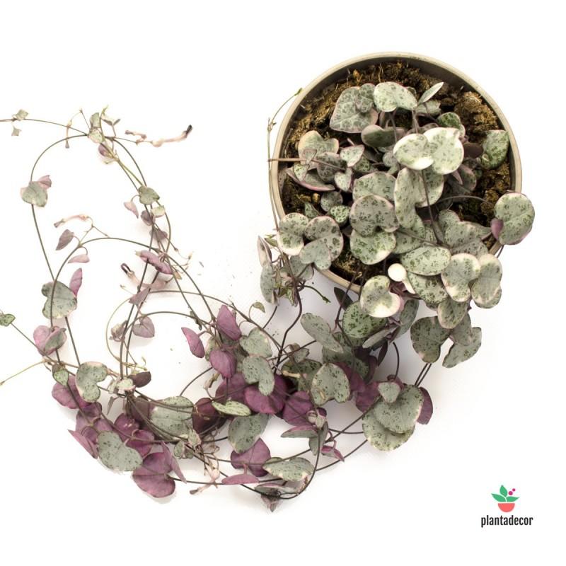 "Ceropegia woodii ssp. woodii "" pink hanging"""
