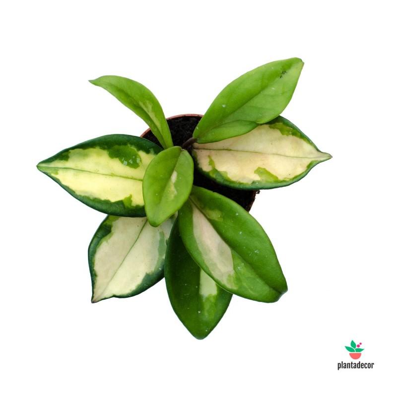 copy of Hoya Carnosa Tricolor