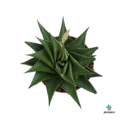 Haworthia Limifolia var....