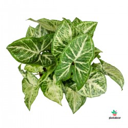 Syngonium Arrow comprar