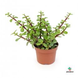 Portulacaria Afra Green