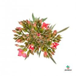 Kalanchoe Spider flor