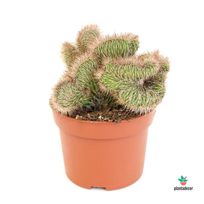 "Mammillaria Rhodantha Pringlei ""Cristata"""