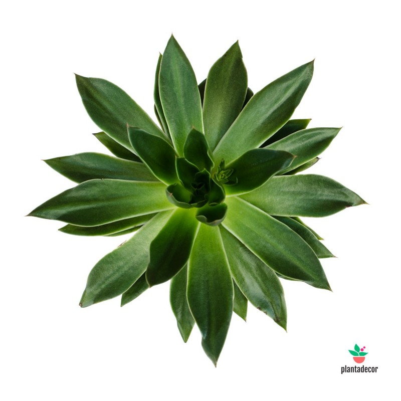 Echeveria Mexicana