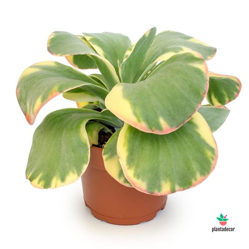 "Kalanchoe Thyrsiflora ""Tricolor"""