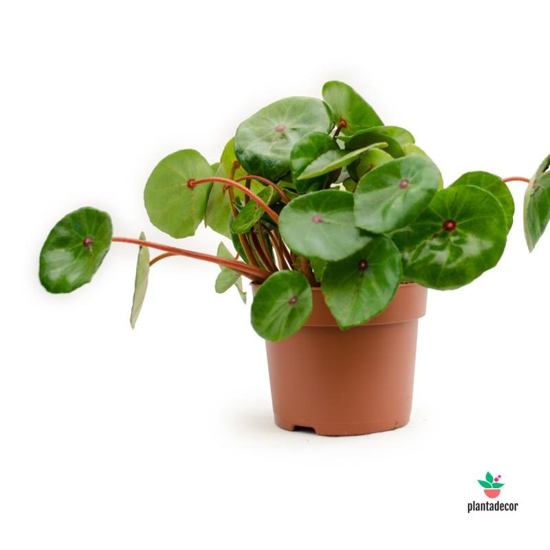 "Begonia Conchifolia ""Red Ruby"""