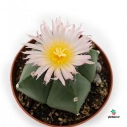Astrophytum Ornatum florecido