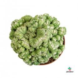 Cereus peruvianus comprar