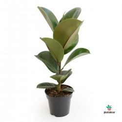 Ficus Elastica Cloë