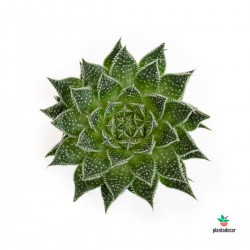 comprar aloe aristata magic