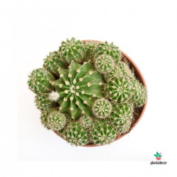 comprar cactus Pilosocereus